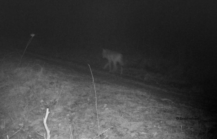 Drei Wolfs-Hund-Hybride erschossen