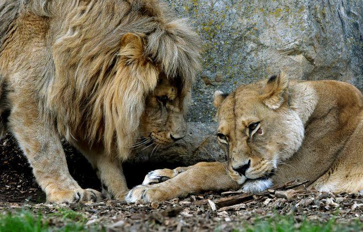 Löwin Ribat ist tot