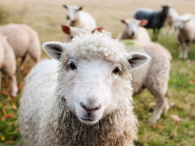 Linda: Diebe stehlen Weidezaungerät – Lämmer auf der Fahrbahn