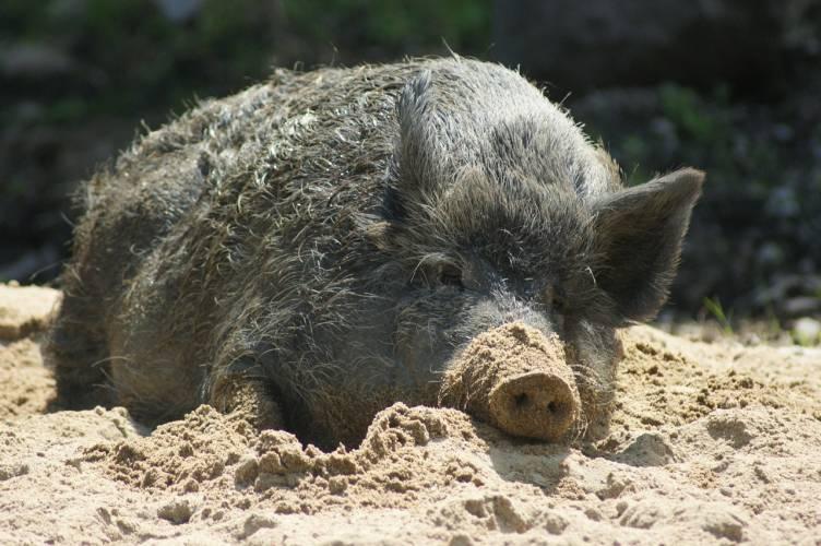 Tierseuchenübung: Thüringen bereitet sich auf die afrikanische Schweinepest vor