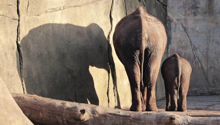 Erfurt: Geburt eines Baby-Elefanten steht bevor