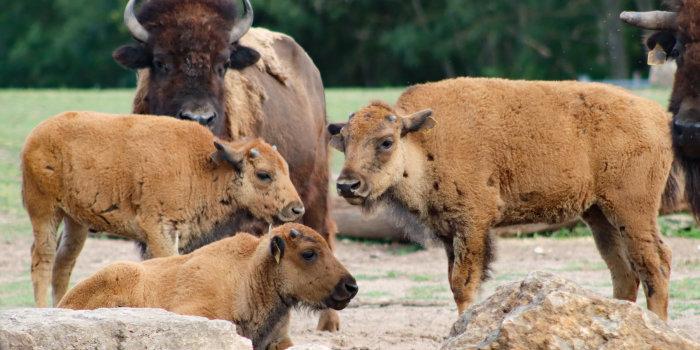 Zoopark Erfurt: 3facher Bison-Nachwuchs