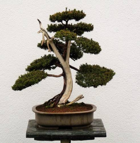 Sömmerda: 7 Bonsai-Bäume gestohlen